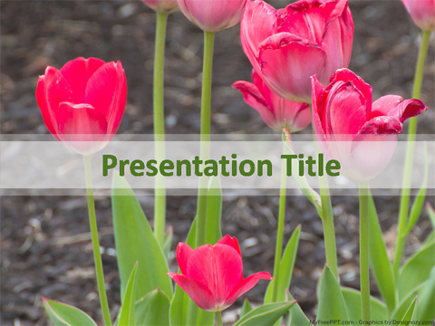 Pink Tulip Flowers PowerPoint Template