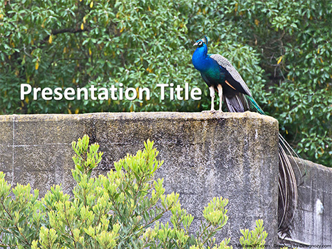 Free Wild Peacock PowerPoint Template
