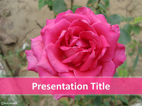 Pink Rose Plant PowerPoint Template