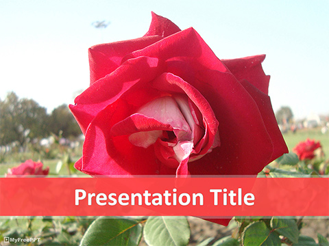 Red Rose Plant PowerPoint Template