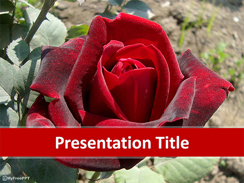 Free Red Valentine Rose PowerPoint Template