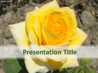 Free Yellow Rose PowerPoint Template